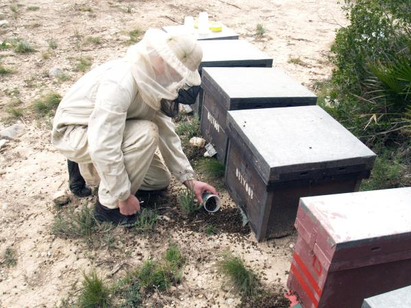Apicultor recollint les abelles mortes de l'eixam - Xàtiva