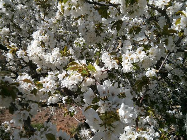 16.04.2013 cirerer florit  Torà -  Ramon Sunyer