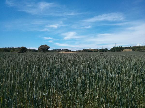 04.06.2013 camp de blat  Sant Pere des Vim -  Ramon Sunyer