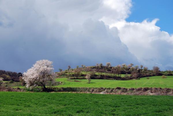 Els verds del sembrat i els blancs dels ametllers - Alta Segarra
