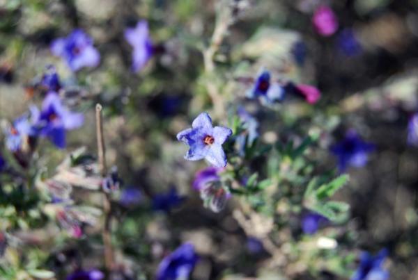 14.04.2014 violeres, petites i de colors intensos  Torà -  Ramon Sunyer
