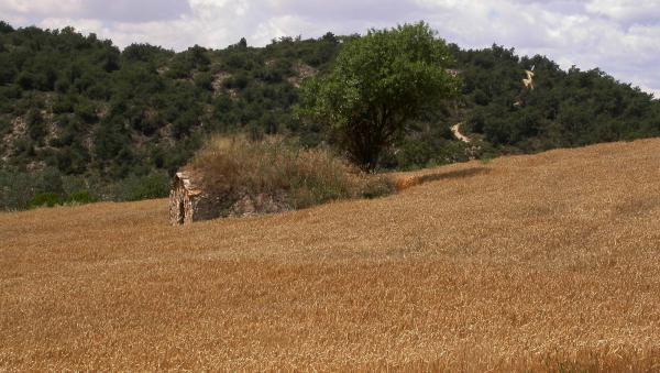 16.06.2014 Esperant la sega  Torà -  Ramon Sunyer