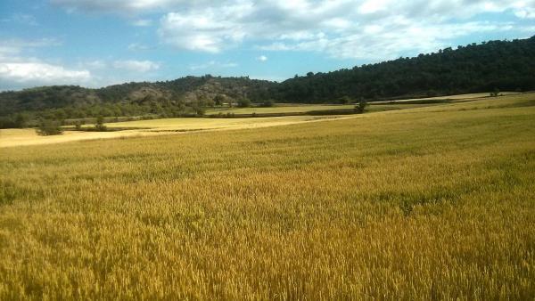 14.06.2014 el cereal madur espera la sega  Santa Fe -  Ramon Sunyer