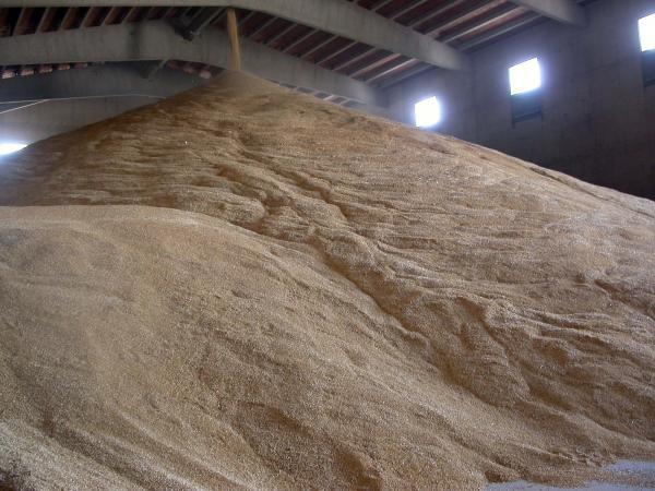 Polsos de llum poden controlar les floridures dels cereals en l'emmagatzematge - Torà