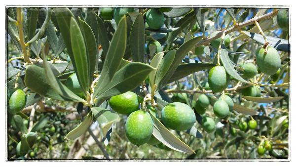 22.09.2014 Olives verdelles  Comabella -  Ramon Sunyer