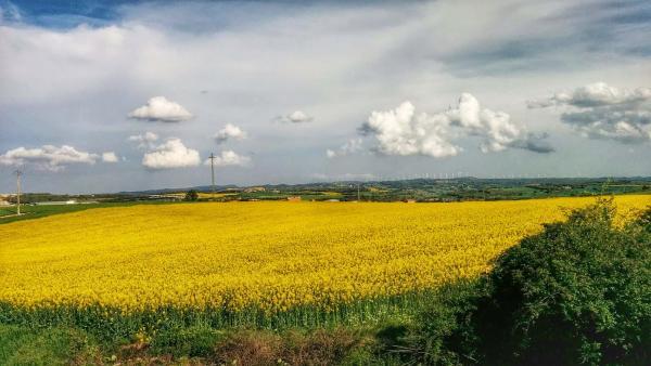 26.04.2015 Els mars grocs de la colza  Calaf -  Ramon Sunyer