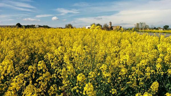 26.04.2015 Els mars grocs de la colza  Els Prats de Rei -  Ramon Sunyer