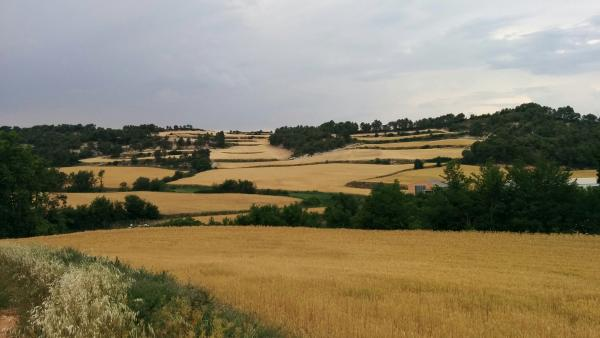 14.06.2015 camps de cereals  Biure de Gaià -  Ramon Sunyer