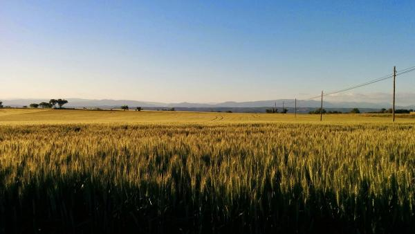 18.05.2015 collita segarra  Portell -  Ramon Sunyer