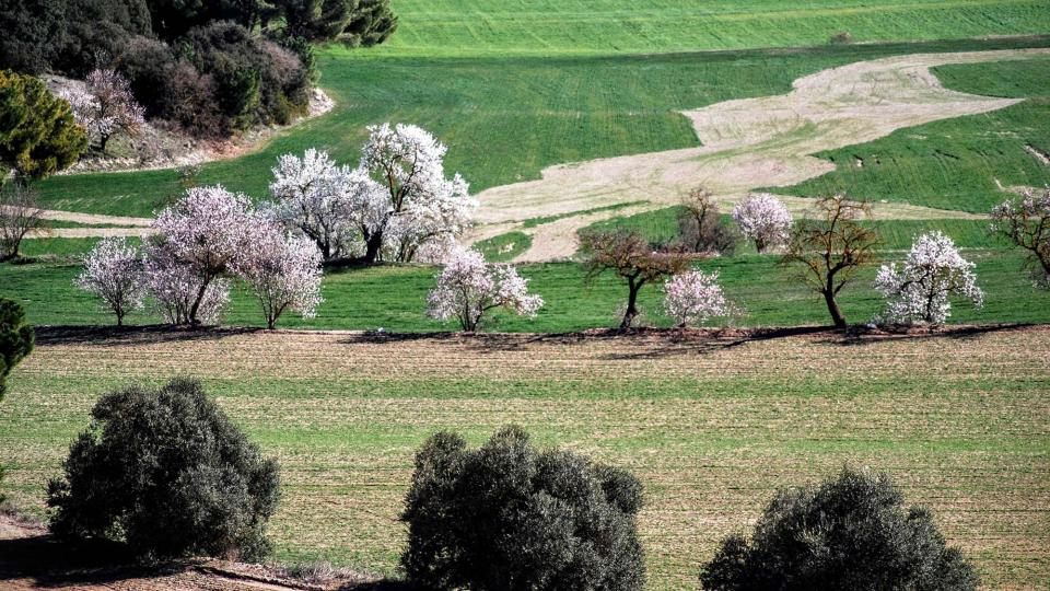 07.02.2016 ametllers florits  Sant Antolí i Vilanova -  Ramon Sunyer