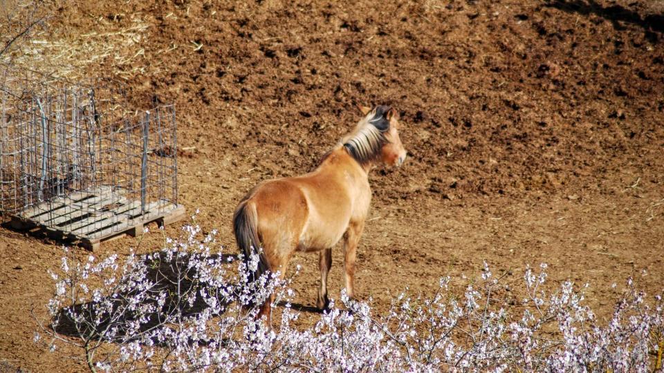 21.02.2016 cavall de cal Perelló  L'Ametlla de Segarra -  Ramon Sunyer