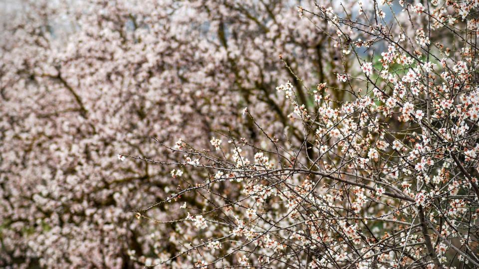 28.02.2016 ametllers florits  Els Hostalets -  Ramon Sunyer