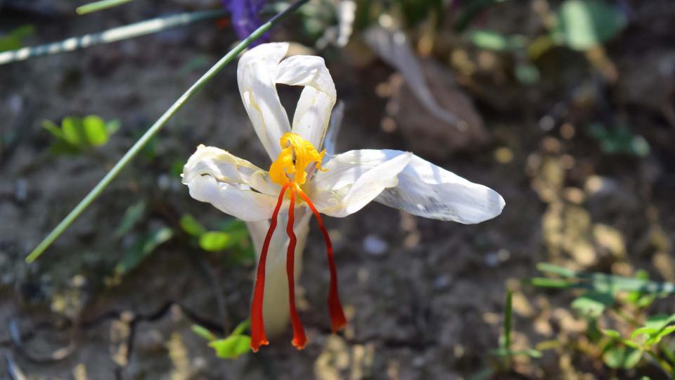 Flor de safrà blanca - Torà