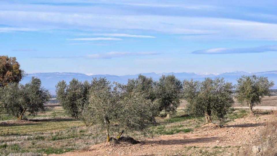 03.12.2017 oliveres  L'Ametlla de Segarra -  Ramon Sunyer