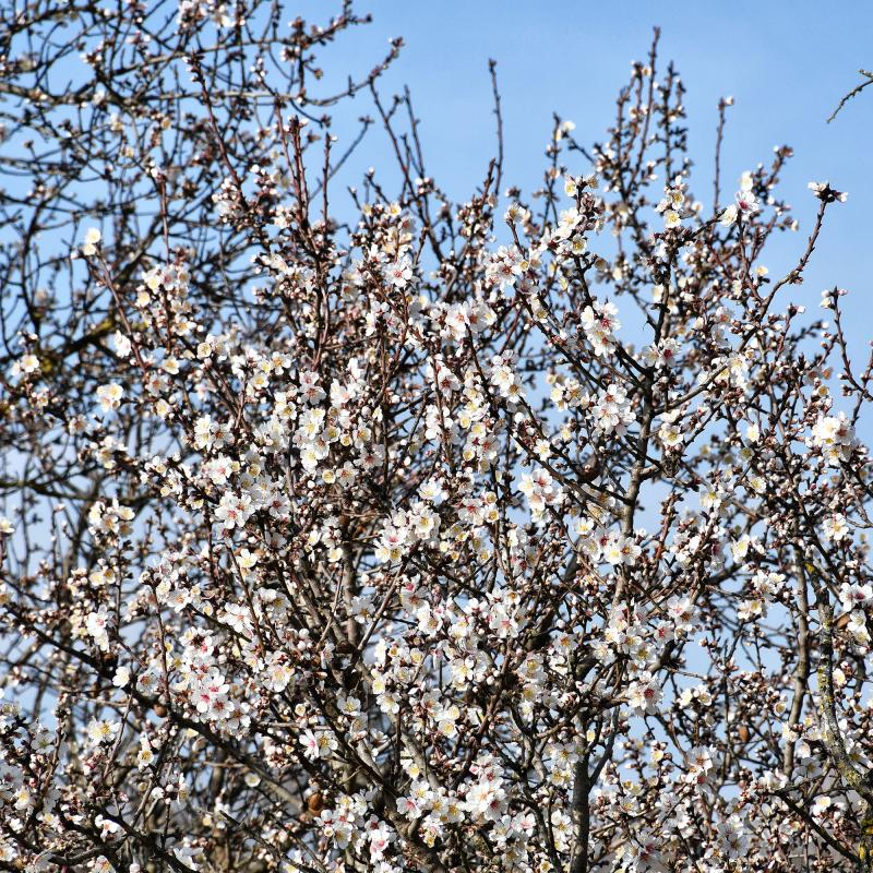 09.02.2020 ametllers florits  Castellnou d'Oluges -  Ramon Sunyer