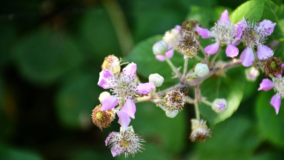 21.06.2020 flor de l'esbarzer  Concabella -  Ramon Sunyer