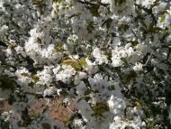 Torà: cirerer florit  Ramon Sunyer