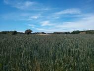 Sant Pere des Vim: camp de blat  Ramon Sunyer