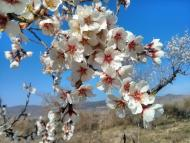 Vall del Llobregós: Ametllers florits  Ramon Sunyer
