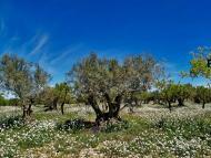 Tarroja de Segarra: Camps d'ametllers  Jaume Enrich