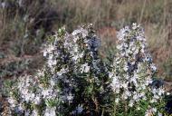 Torà: La flor del romaní, una nota perfumada  Ramon Sunyer