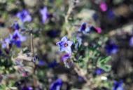 Torà: violeres, petites i de colors intensos  Ramon Sunyer