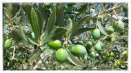 Olives verdelles a Comabella