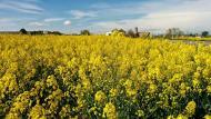Els Prats de Rei: Els mars grocs de la colza  Ramon Sunyer