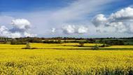 La Manresana: Els mars grocs de la colza  Ramon Sunyer