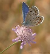 Montpalau: Mascle de l'espècie Blaveta de l'Astràgal (Polyommatus escheri)   Daniel Espejo Fraga