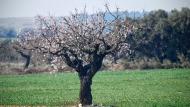 El Canós: ametller florit  Ramon Sunyer