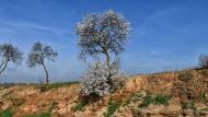 Montroig: ametllers florits  Ramon Sunyer