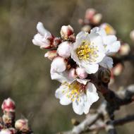 Castellnou d'Oluges: ametllers florits  Ramon Sunyer