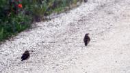 Belltall: Ocells  Ramon Sunyer